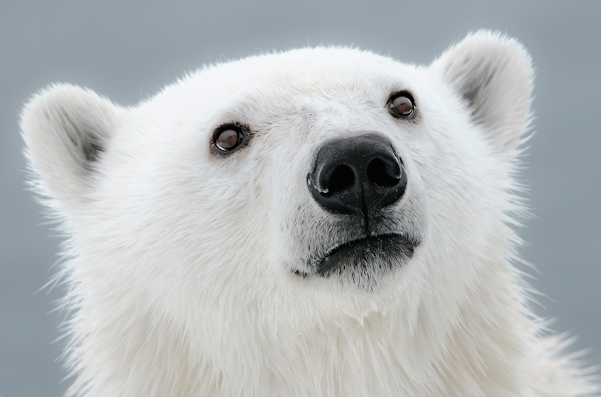 Arctic Wanderers: 22 incredible photos of polar bears