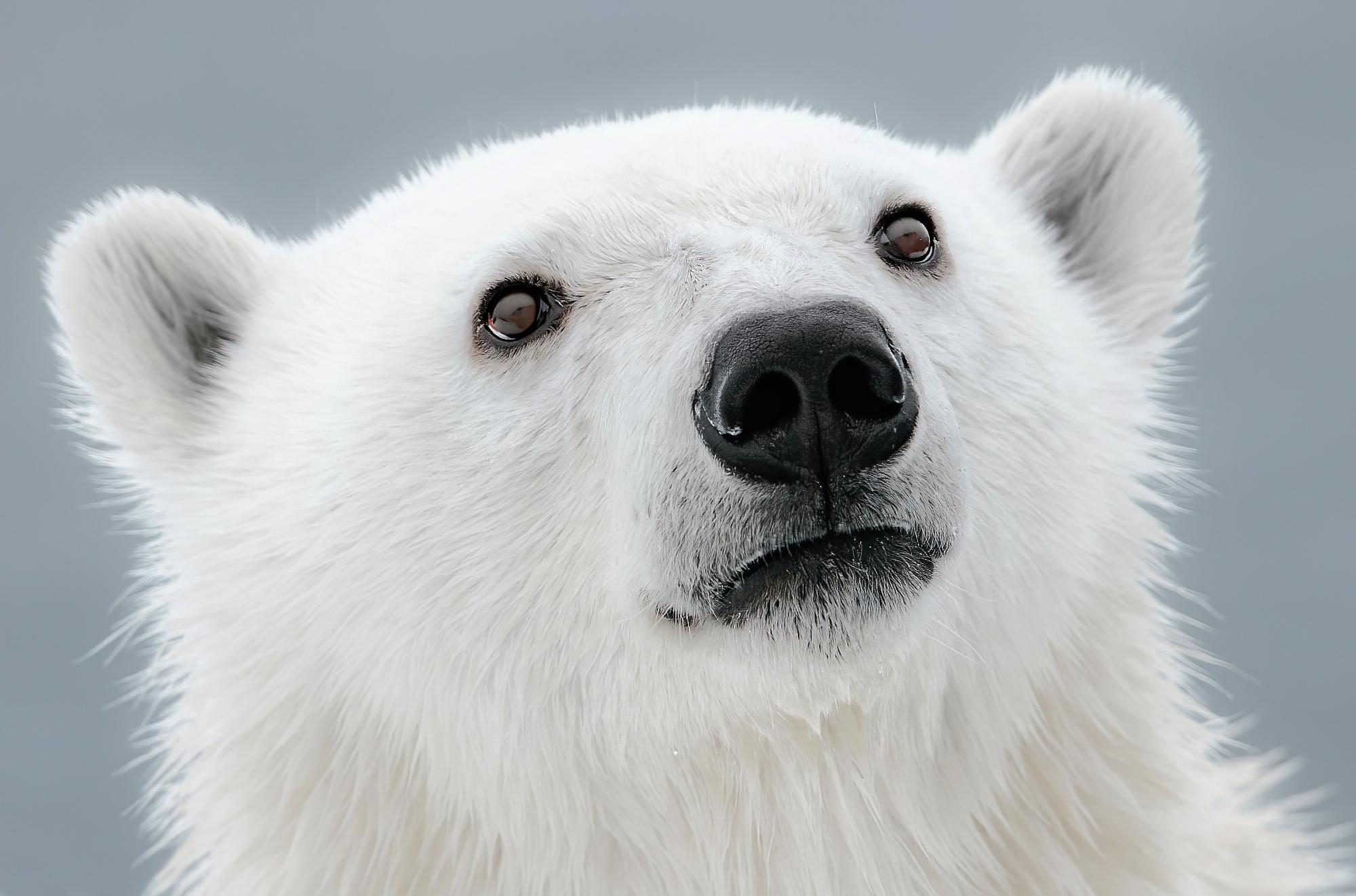 Arctic Wanderers: 22 incredible photos of polar bears